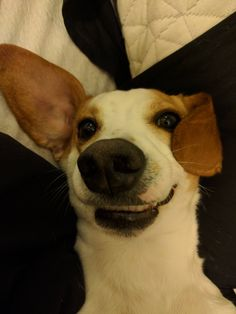 Eli smiling for pictures now   http://ift.tt/2meo2GB via /r/dogpictures http://ift.tt/2nc3rrF  #lovabledogsaroundtheworld