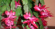 Cómo disfrutar del cactus de Navidad más allá de estas fiestas