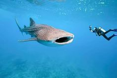 Diving with Shark Whale (Philippines) Whale Shark Diving, Swimming With Whale Sharks, Shark Art, Swimming Diving, Underwater Photographer, Underwater Photos, Underwater Life, Cozumel, Costa Rica