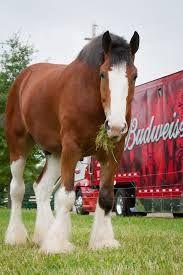 Budweiser Clydesdale Big Horses, Pretty Horses, Horse Love, Beautiful Horses, Animals Beautiful, Cute Animals, Black Horses, Clydesdale Horses Budweiser, Horse Farms