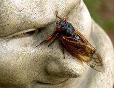 17-year cicadas by joel eagle  (from his pinterest board) Cicada Tattoo, Nature Photos, My Photos, Pinterest Board, Spiders, Moth, Bugs, Butterflies, Insects