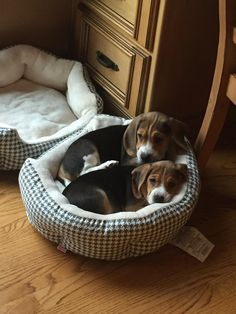 Reddit say hello to my new beagle puppies! Victoria in the front Albert in the back. If only they used BOTH beds... http://ift.tt/2oif6lI