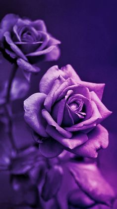 Purple Roses wallpaper by _GIVENCHY_ - 7647 - Free on ZEDGE™