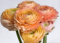 I recently spent a few hours photographing some peach ranunculus blossoms in my studio. I loved all the soft colors and textures in the blossoms – a perfect reminder of spring on the cold January day that I was photographing Ranunculus Flowers, Peonies, Diy Wedding Flowers, Diy Flowers, Beautiful Butterflies, Beautiful Flowers, April Wedding, Flower Farm, Flower Images