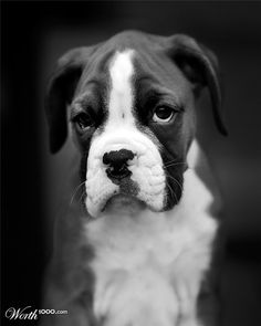 Boxer - dogs http://pnnd.co/pin1-1404  Aww I want this  puppy :)