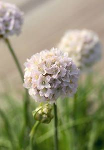 Armeria maritima 'Morning Star White' (Chiltern seeds UK)