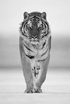 Tigers are sophisticated yet viscous, beautiful yet terrifying, thoughtful yet primitive. They are the balance if the world and one of its many wonders