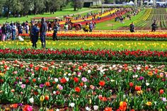 A visitor's experiences at The Tesselaar Tulip Festival in Melbourne Daffodils, Tulips, Melbourne Attractions, Tulip Festival, Melbourne Cbd, Flower Farm, Roman Catholic, Petunias, Historic Homes