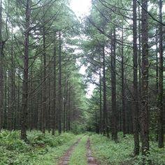 Woodland path at Karuizawa