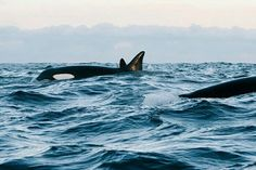 #orcas #whales