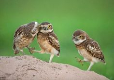 owls are funny little things