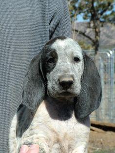 Gascon Saintongeois / Gascão Saintongeois Puppy Dog French Hound