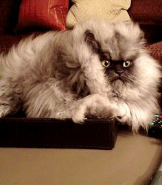 colonel meow - rest in peace sweet kitty. You were so sweet even though you looked like a cute bad boy. Xoxoxoxo