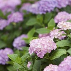 It's easy to forget, when you plant hydrangeas, just how large each one can grow.