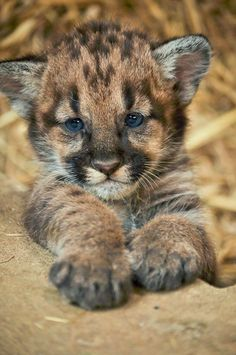 Baby Cougar :3