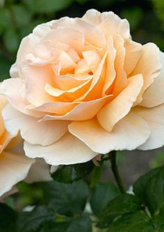 Just Joey - orange blend, 30 petals, fragrant, 1972, rated 7.9 (very good) by ARS.