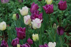 Purple and white tulips!