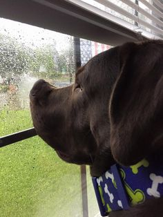 Sal Martinez‎ Labrador Retriever Rainy days just ain't no fun.......
