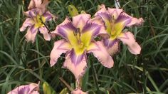 Image result for Lynn treece daylilies