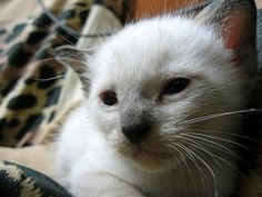 #Siamese #Kittens for sale in any US state