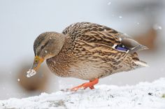 Mallard in snow by raymgloden #animals #animal #pet #pets #animales #animallovers #photooftheday #amazing #picoftheday