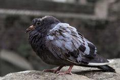 Aves, Dove, Pájaro Enfermo, Paloma Enferma, Enfermedad