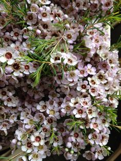 Waxflower in pale pink...Sold in bunches of 10 stems from the Flowermonger the wholesale floral home delivery service.