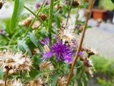 Zu Gast im Hortus Campanularum, dem Garten der Glockenblumen – Hortus Girasole Plants, Insect Hotel, Planting, Plant, Planets