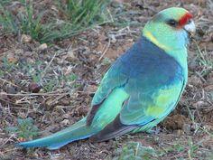 MALLEE RINGNECK - Barnardius zonarius barnardi . . .C &W New South Wales, SW Queensland, E South Australia, NW Victoria