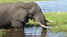 Vom Publikum im Chobe Nationalpark unbeeindruckt, genießt der Elefant sein Mittagessen. Namibia, Elephant, Animals, Zimbabwe, Adventure Tours, Natural Wonders, National Forest, Eat Lunch, Animales