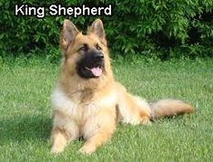 King Shepherd    The King Shepherds will be the giant dogs who look like a larger sort of German Shepherds. They were developed by American dog breeders Shelley Watts- David Turkheimer and Cross.    http://www.germanshepherdfacts.us/