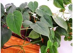 Rostlina | Filodendron, Philodendron Korn, Growing Plants, Plant Leaves, Bonsai, Gardening, Garten, Lawn And Garden, Square Foot Gardening, String Garden