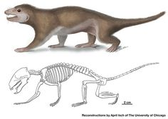 """In Fossil, Evidence That Fur Predates Mammals: Meet Megaconus mammaliaformis, a furry proto-mammal and, in the words of one researcher, """"your great-great-grand uncle 165 million years removed. Dinosaur Discovery, Early Humans, Prehistoric Creatures, Animal Species, Vertebrates, Zoology, Natural History, Mammals, Reptiles"""