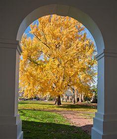 _MAR2893Ginko biloba tree on UVa Grounds | Flickr - Photo Sharing!