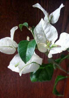 Bouganville  branco #jardinagemcomoterapia  #meujardiméobramestradajardinagem