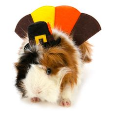 All Living Things® Pet Halloween Turkey Small Pet Costume   Costumes   PetSmart
