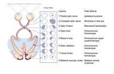 Visual cortex and the retina | Flashcards - CENTRAL VISUAL PATHWAYS - Visual Fields Retina 1 ...