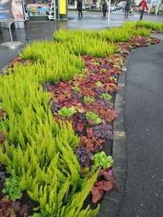 Chartreuse heather and assorted heucheras