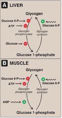 Carbohydrate Metabolism:Glycogen Metabolism flashcards | Quizlet