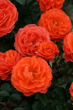 'Orange Meilove' | Floribunda Rose