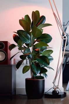 Big House Plants, Big Indoor Plants, House Plants Decor, Small Plants, Indoor Garden, Garden Plants, Indoor Plant Decor, Indoor Planters, Rubber Plant Care