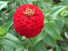 Zinnia Seeds - Lilliput Redman
