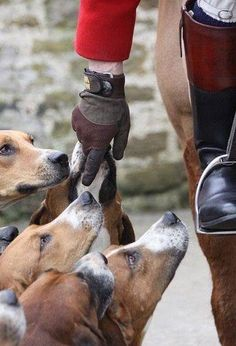 Are you interested in a Beagle? Well, the Beagle is one of the few popular dogs that will adapt much faster to any home. English Country Manor, British Country, American Foxhound, Horse Books, Fox Hunting, The Fox And The Hound, Equestrian Style, Horse Riding, Riding Gear