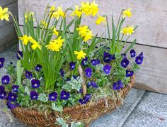 Great Idea...Plant daffodil bulbs in pot in fall, cover with dirt and plant pansies or violas on top. The pansies will bloom fall and winter. In the Spring daffodils will grow through and bloom...Love it! I will definately try this next fall in my large planters.