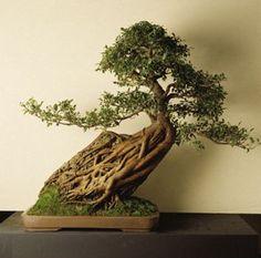 16 июня 2012 г.16:07.  Карликовое дерево бонсай.  Но настоящий бонсай, кажется, очень дорогой.  Я хочу подарить это!