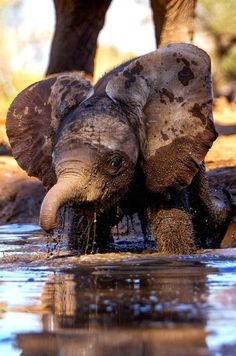 Baby elephant enjoying a mud bath! <3
