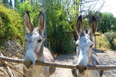 http://www.123rf.com/photo_28319531_pair-of-donkeys-in-the-tuscan-countryside.html