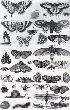Forty-One Insects, Moths and Butterflies (Muscarum Scarabeorum), by Wenceslaus (aka Vaclav) Hollar, 1646