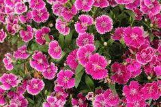 Resultado de imagen de flor dianthus