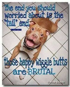 """They will whip you with them Tails! But get a load of those """"froggy legs"""" :-) now that's a pitbull trademark!"""